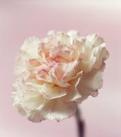 Dianthus, Carnation 20025337513| 写真素材・ストックフォト・画像・イラスト素材|アマナイメージズ