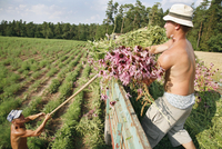 Echinacea, Echinacea angustifolia, Purple coneflower 20025337870| 写真素材・ストックフォト・画像・イラスト素材|アマナイメージズ