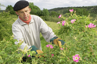 Rose, Rosa rubiginosa 20025337878| 写真素材・ストックフォト・画像・イラスト素材|アマナイメージズ