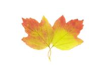 Viburnum opulus, Guelder rose 20025338073| 写真素材・ストックフォト・画像・イラスト素材|アマナイメージズ