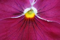 Viola 20025338164| 写真素材・ストックフォト・画像・イラスト素材|アマナイメージズ