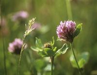 Trifolium, Clover