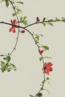 Quince, Chaenomeles japonica