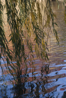 Salix babylonica, Weeping willow, Willow