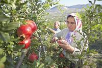 Punica, Pomegranate 20025338848| 写真素材・ストックフォト・画像・イラスト素材|アマナイメージズ