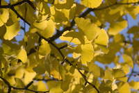 Gingko, Gingko biloba, Maidenhair tree