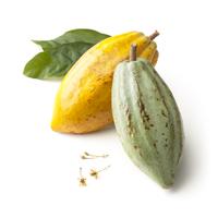 Theobroma cacao, Cocoa bean