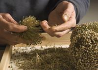 Leek, Allium ampeloprasum 'Kelvedon King' 20025339367  写真素材・ストックフォト・画像・イラスト素材 アマナイメージズ