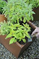 Salvia officinalis Icterina, Sage 20025339588  写真素材・ストックフォト・画像・イラスト素材 アマナイメージズ