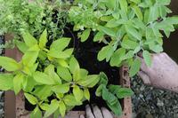 Salvia officinalis Icterina, Sage 20025339589  写真素材・ストックフォト・画像・イラスト素材 アマナイメージズ