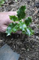 Ilex aquifolium, Holly 20025339607  写真素材・ストックフォト・画像・イラスト素材 アマナイメージズ