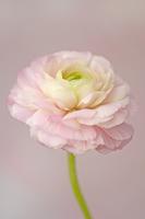 Ranunculus, Ranunculus 20025339672| 写真素材・ストックフォト・画像・イラスト素材|アマナイメージズ