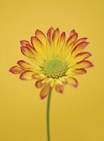 Chrysanthemum 'Roma', Chrysanthemum
