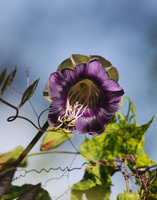 Cobaea scandens, Cup and saucer