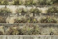 Aloe arborescens, Aloe