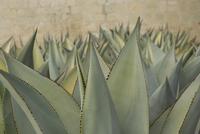 Agave celsii, Agave 20025340153  写真素材・ストックフォト・画像・イラスト素材 アマナイメージズ