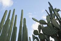 Pachycereus Marginatus, Cactus, mexican fence post cactus 20025340166  写真素材・ストックフォト・画像・イラスト素材 アマナイメージズ