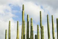 Pachycereus Marginatus, Cactus, mexican fence post cactus 20025340180  写真素材・ストックフォト・画像・イラスト素材 アマナイメージズ