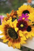 Helianthus, Sunflower