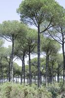 Pinus pinea, Pine - Stone pine