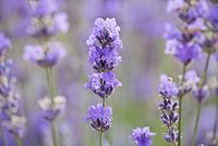 Lavandula augustifolia, Lavender, Purple subject