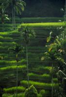 Oryza sativa, Rice, Green subject, Green background.