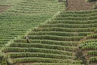 Triticum cultivar, Wheat, Green subject. 20025340539| 写真素材・ストックフォト・画像・イラスト素材|アマナイメージズ