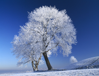 Tree, Trees, White subject. 20025340550| 写真素材・ストックフォト・画像・イラスト素材|アマナイメージズ