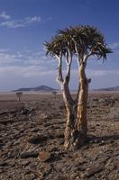 Aloe dichotoma, Quiver tree, Brown subject. 20025340555  写真素材・ストックフォト・画像・イラスト素材 アマナイメージズ