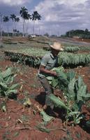 Nicotiana tabacum, Tobacco, Green subject. 20025340594| 写真素材・ストックフォト・画像・イラスト素材|アマナイメージズ