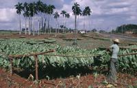 Nicotiana tabacum, Tobacco, Green subject. 20025340595| 写真素材・ストックフォト・画像・イラスト素材|アマナイメージズ
