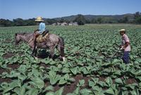 Nicotiana tabacum, Tobacco, Green subject. 20025340596| 写真素材・ストックフォト・画像・イラスト素材|アマナイメージズ