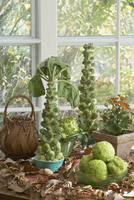 Fall Theme: Fall green goodies, Brussel sprout trees, brociflower, hedge apples, mums,, brown fall leaves, woven reed basket, wi