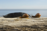 Close-up of three snails on a log