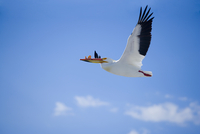 Low angle view of a pelican flying with catch in the sky, Yellowstone Lake, Yellowstone National Park, Wyoming, USA