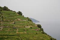 Cultivated Fields on Hillside, Cinque Terre, Italian Riviera, Vernazza, La Spezia, Liguria, Italy