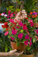 Man holding a hanging basket in a  greenhouse