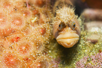 Close-up of a Coralline Sculpin fish camouflaged underwater
