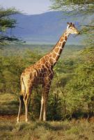 Giraffe, Samburu National Reserve, Kenya
