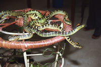 Close-up of snakes in the Snake Temple in Penang, Malaysia, Southeast Asia, Asia