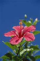 Pink hibiscus flower, Bermuda, Central America