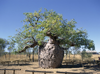 Old hollow boab tree, once used as aboriginal prison, outside Derby, Kimberley, Western Australia, Australia, Pacific