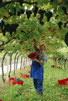 Man picking kabinett grapes at Traminer below Bolzano, Alto Adige, Italy, Europe 20025347570| 写真素材・ストックフォト・画像・イラスト素材|アマナイメージズ
