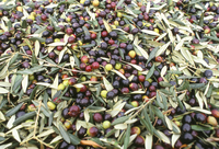 Close-up of olives harvested at Frantoio Galantino, Bisceglie, Puglia, Italy, Europe