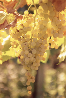 Close-up of Malvasia grapes in vineyard outside Frascati, Frascati, Lazio, Italy, Europe