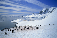 Gentoo penguins stand on snow on the shore along the coast of the Antarctic Peninsula, Antarctica, Polar Regions