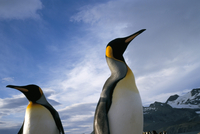 King penguins, South Georgia, South Atlantic, Polar Regions