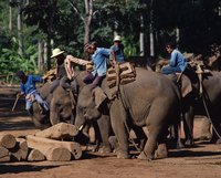 Elephants at work moving logs at Chiang Mai, Thailand, Southeast Asia, Asia