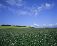Potato and wheat fields near Furano, Hokkaido Island, Japan, Asia