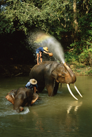 Elephants being washed in the river near Chiang Mai, The North, Thailand
